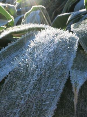山王峠の笹の上の霜