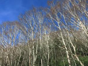 丸沼湖畔の白樺林