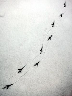 雪上の飛行機マークの正体は「カラスの足跡」