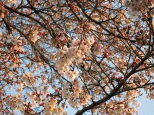 宇都宮の開花したサクラ