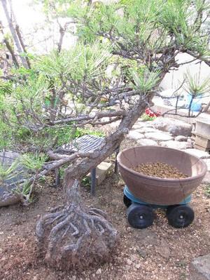 黒松の盆栽の植え替え