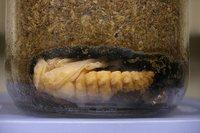 ギラファノコギリクワガタの幼虫No1が蛹化