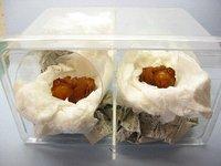 アトラスオオカブトの人工蛹室