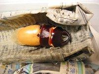 ペットボトル製人工蛹室・オオクワガタの羽化