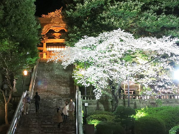 宇都宮市の二荒山神社の桜
