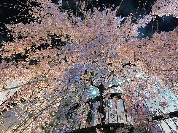 宇都宮市の田川・宮の橋のしだれ桜