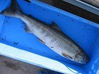 サーモン(メス、80cm、4.6kg) in 請戸川(2007/10/28)