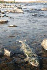 那珂川のサケの死骸