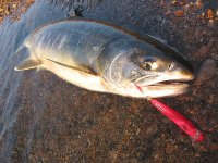 サーモン用YSミノーで釣った初サーモン(70センチ、メス)(2008/11/15)