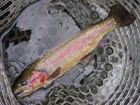 YSクランクで釣ったニジマス(36cm)(2010/11/23)