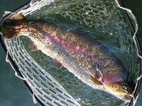 東古屋湖スーパーレインボー・65cm(2011/02/19)