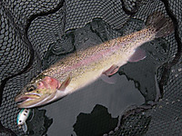YSクランクで釣った丸沼レインボー(30cm)(2011/11/23)