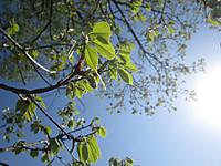 鬼怒川河川敷の雑木の芽吹き