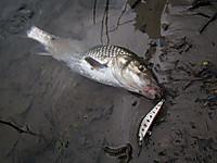 YSミノーで釣ったニゴイ in 川俣湖(2012/06/02)