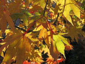 庭のカエデの紅葉