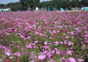 満開のコスモス畑(栃木県高根沢町宝積寺グリーンパーク)