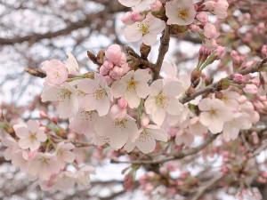 宇都宮の桜も開花しました