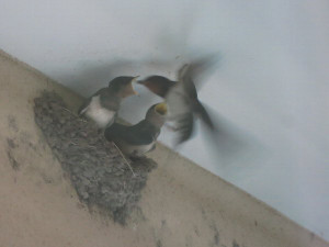 巣立ち直前のツバメのヒナ