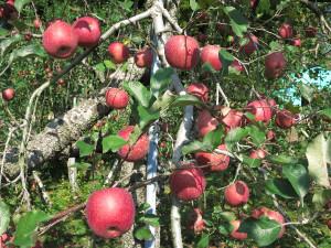 ファミールしばたのりんご