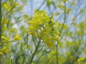 鬼怒川河川敷の菜の花