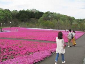 芝ざくらまつり in 栃木県市貝町