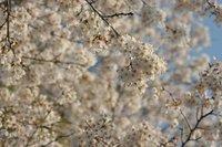 満開の桜(宇都宮市)