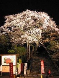 慈光寺の夜桜