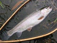 里川でレインボートラウト 34cm(2007.7.1)