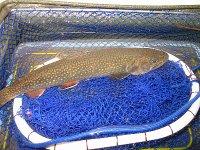 2005年5月8日、湯ノ湖で釣ったブルックトラウト